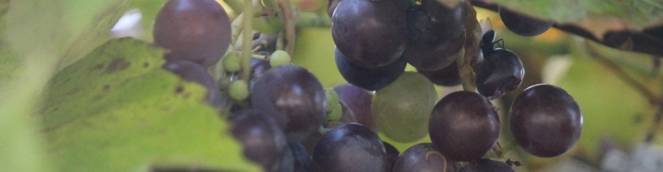 Grapes0095