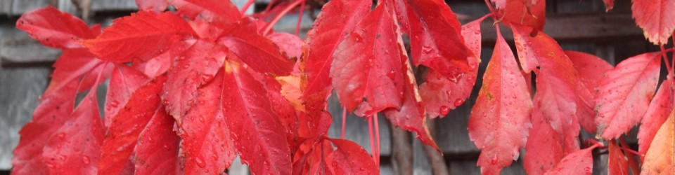 Red leaves_0185