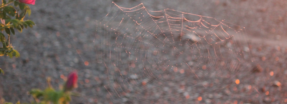 spirder web
