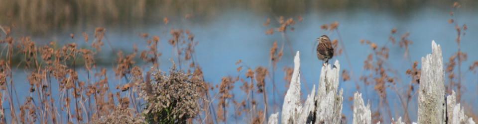 sparrow-on-stump