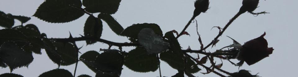 dark-rose-buds