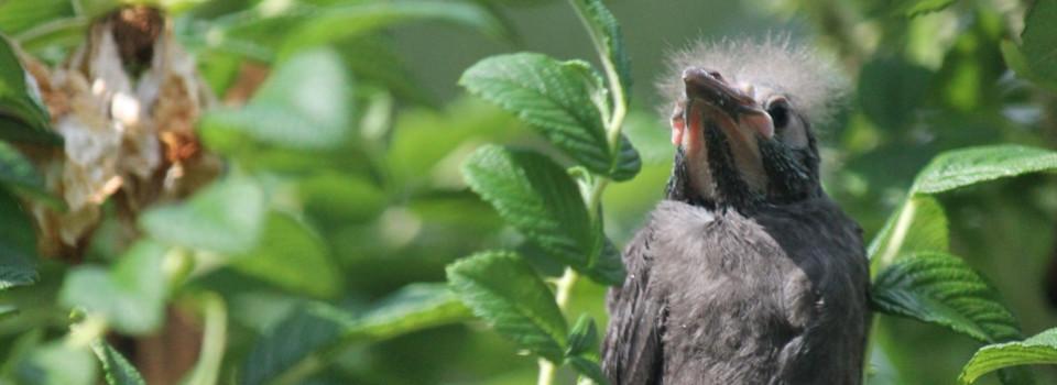 baby-starling