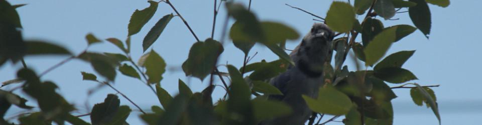 Bluejay in tree