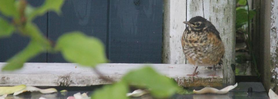 baby robin 1