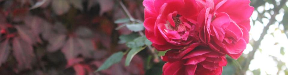 fall roses 1